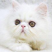 ขายลูกแมวเปอร์ซีย สีขาว เพศผู้ 2 เดือนกว่า วัคซีนแล้ว 4800 บ.