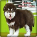 Female giant alaskan for sale.(มีคลิป)