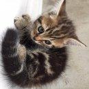 ขายน้องแมวอเมริกันผสมเปอร์เซีย