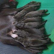 ลูกสุนัขสีช็อคโกแล็ตทั้งหมด ลูกฟินิแกน กะ วีวี่ กำหนดคลอด 31 กรกฎาคม 2561 บ้านกรีนคอร์เนอร์ลาบราดอร์