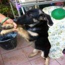 (ขายแล้วจ้า) ลูกสุนัขเยรมันเชฟเฟิร์ด 3 เดือนเพศเมีย(น้องซี) แข็งแรง ร่าเริง 4,500 บาท--กทม บางบอน