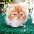 ขายลูกแมวเปอร์เซีย  หน้าตาน่ารักๆ มีจัดส่ง คร่าา  ;3