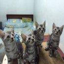 ลูกแมวอเมริกันช็อตแฮร์แท้ + วัคซีน + ถ่ายพยาธิแล้ว