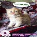 ขายลูกแมวเปอร์เซีย สีขาว,หิมาลายัน,ครีมพ้อย,ส้มกาฟิล,กระดองเต่า,แบล๊คสโม๊ค UP28สค.2559