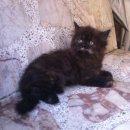 ลูกแมวเปอร์เซียแท้ สวยๆพร้อมย้ายบ้านค่ะ