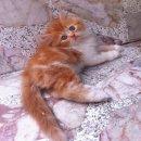 ลูกแมวเปอร์เซียแท้พร้อมย้ายบ้านค่ะ