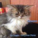 ...... น้องแมวเปอร์เซีย ผู้ชาย สี brown tabby and white .....