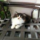 ขายลูกแมวเปอร์เซียแท้ ลูกครึ่ง CFA ราคาถูก
