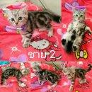 แมวอเมริกันชอตแฮร์ 4,500