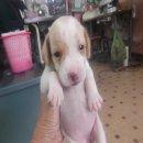 ขายลูกสุนัขบีเกิ้ลแท้ ราคา 4500-5000