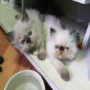 ลูกแมวเปอร์เซียแท้หิมาลายันตาฟ้าเพศเมียหาบ้านค่ะ