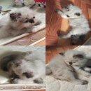 ลูกแมวเปอร์เซียแท้สีหิมาลายันตาฟ้าสวยๆพร้อมย้ายบ้านคร้าา