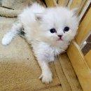 เปิดจองลูกแมวเปอร์เซียสีบลูพล้อยตาฟ้าเมีย รับได้ 15 พ.ย.60