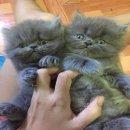 ลูกแมวเปอร์เซียสีบลูแท้อ้วนๆกลมๆฟุๆจร้าา
