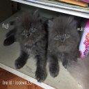 ลูกแมวเปอร์เซียแท้ หมูบลู อ้วนๆกลมๆฟูๆคร้าา