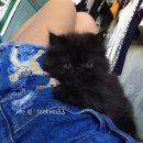 ลูกแมวเปอร์เซียแท้หน้าบี้สีดำ