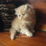 ลูกแมวเปอร์เซียแท้สีส้มขนแน่นๆฟูๆคร้าา