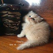 ลูกแมวเปอร์เซียแท้สีส้มมขนแน่นๆฟูคร้าา