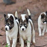 ลูกสุนัขพันธุ์บางแก้ว โครงสร้างใหญ่ มีใบเพ็ดรับรองสายพันธุ์พร้อม