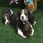บีเกิ้ล สวยๆ มาแล้วจ้า.  Beagle for sale