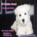 จำหนายลูกสุนัขสายพันธุ์เวสตี้(West Highland White Terrier)