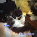 ...... น้องแมวเปอร์เซีย ผู้ชาย สี black and white .....