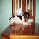 ลูกสุนัขแจ๊ครัสเซลล์พันธุ์แท้น่ารักๆ ตัวละ3900บาทครับ