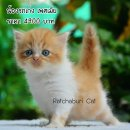เปิดจองลูกแมวเปอร์เซีย สีขาวส้ม เพศเมีย