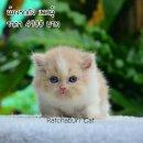 เปิดจองลูกแมวเปอร์เซีย สีครีมขาว เพศผู้