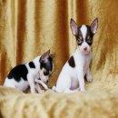 Chihuahua ขนสั้นสีขาวช็อคและสีขาวดำ ทีคัพ เพศผู้ พร้อมย้ายบ้าน กทม จัดส่งฟรี