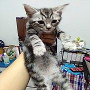 ขายลูกแมวอเมริกันชอร์ตแฮร์พันธุ์แท้ เพศเมีย สีซิลเวอร์