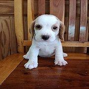 ลูกสุนัขบีเกิ้ลพันธุ์แท้ ตัวละ4900บาทครับ