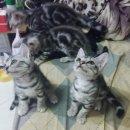ลูกแมวอเมริกันช็อตแฮร์ สีsilver อายุ3เดือน สามตัวสุดท้าย