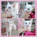 ขายน้องแมวขาวมณีตาสีฟ้า แมวไทยมงคลสายพันธุ์แท้