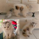 ลูกแมวเปอร์เซีย น่ารักๆ พร้อมย้ายบ้าน