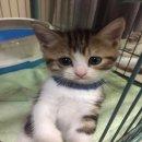 ขายน้องแมวสก๊อตติชโฟด์ อายุ 1.5 เดือน