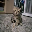 ลูกแมวหูตั้ง Scottish Fold เพศผู้สี Brown Classic Tabby SCFC Gen1