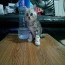 ลูกแมวหูตั้ง Scottish Fold เพศผู้สี Silver and Brown Classic Tabby SCFC Gen1