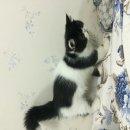ขายลูกแมว Excotic Shothair อายุ2.5 เดือน 10000-5000  ติดต่อได้จ้า ID Line:chiopchy หนิง
