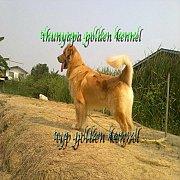 thunyapagoldenfarm พ่อพันธุ์สุนัขโกลเด้นรีทรีฟเวอร์ เกรดคุณภาพ เปิดรับผสม