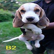 บีเกิ้ล เพศผู้ 2 ตัว เหลือตัว B1 กับ B2 PRUKU DOGSTER บ้านของคนรักสุนัข