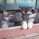 ขายลูกสุนัขพันธุ์อัลเซเชี่ยนแท้ราคาถูก 5,500 บาท ด่วน!