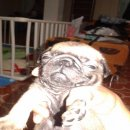 ขายลูกสุนัขพันธ์ปลั๊ก น่ารักผู้ชาย 1 ตัวแท้100เปอร์เซนต์