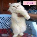 แมวเปอร์เซีย(น้องแมวได้บ้านหมดแล้วค่ะ)