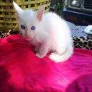 ขายลูกแมวขาวมณีตาสองสี(ลักษณะพิเศษTwo Tone)แมวไทยมงคลสายพันธุ์แท้