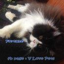 ...... น้องแมวเปอร์เซีย ผู้ชาย อายุ 1 ปีกว่า สี black and white .....