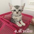 ขายลูกแมวอเมริกันช๊อตแฮร์(พันธุ์แท้) 3500บาท