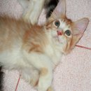 ลูกแมวเปอร์เซียผสมเมนคูนสีส้ม-ขาว เพศผู้ พร้อมย้ายบ้านราคาพิเศษ
