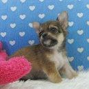 ชิวาวา ขนยาว เพศเมีย สีน้ำตาล ตัวเล็กน่ารัก (สุนัขบ้าน-รับประกันโรค)