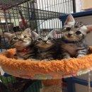 ขายน้องแมวอเมริกันช็อตแฮร์พันธ์แท้ อายุ 1.5 เดือน